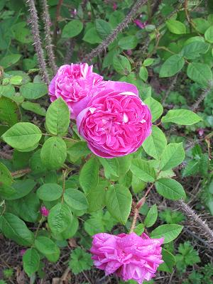 ROSIER 'Aimable Amie'
