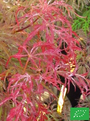 Erable du Japon 'Dissectum Crimson Queen'