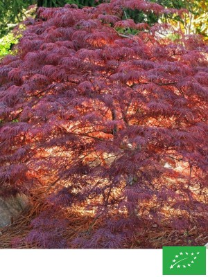Erable du Japon 'Dissectum Red Feathers'