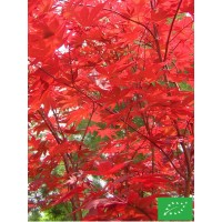Erable du Japon 'Whitney red'