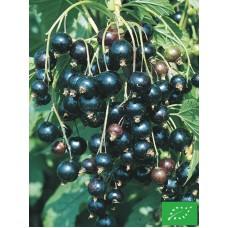 Cassis 'Black Reward'
