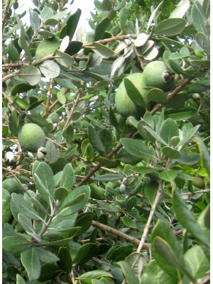 Feijoa 'Coolidge''