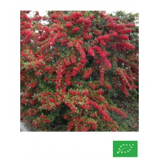 Pyracantha 'Red Collumn'
