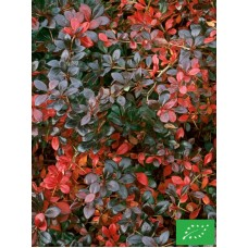 Epine vinette 'Red Jewel'