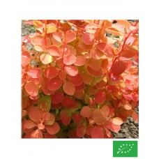 Epine vinette de Thunberg 'Orange Ice'