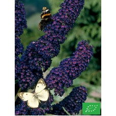 Buddleia de David 'Black night'