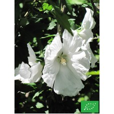 Hibiscus syriacus 'William Smith'