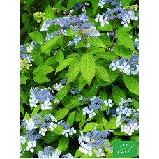 Hortensia serrata 'Blue Bird'