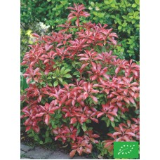 Pieris japonica 'Red Mill'