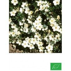 Potentille Arbustive 'Blanche'