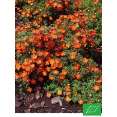 Potentille Arbustive Red Ace