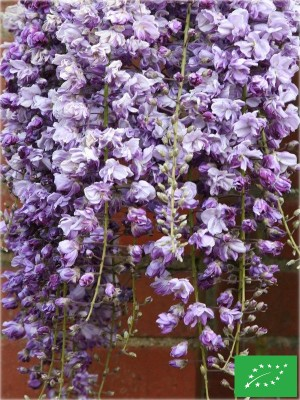 Glycine de Chine 'Black dragon'