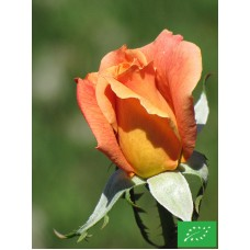 ROSIER 'Sutter Gold'